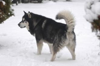 超大型犬,レオンベルガー,スパニッシュマスチフ